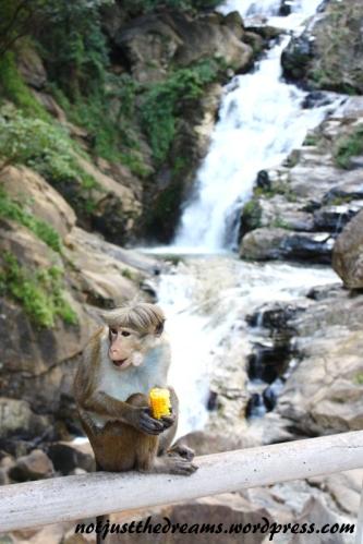 W okolicach Rawana Falls małpek było wyjątkowo dużo. Niektóre okupowały znaki mówiące o tym gdzie się znajdujemy. Zastanawiałyśmy się czy dziury w tych znakach również zrobiły małpiszony.