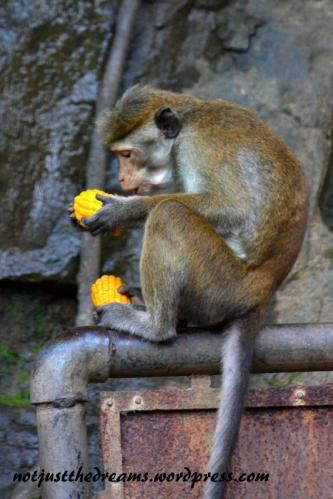 Małpki też potrafią być zachłanne. Tej udało się zdobyć aż dwie kukurydze jednocześnie. Siedząc wysoko na znaku miała szansę, że inne nie spróbują jej zabrać przysmaku.