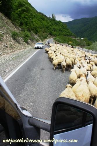 Co kilkanaście - kilkadziesiąt kilometrów na pomoc spragnionym czasu na fotografowanie widoków przychodzą stada owiec, kóz i krów, która często zajmują całą szerokość drogi.