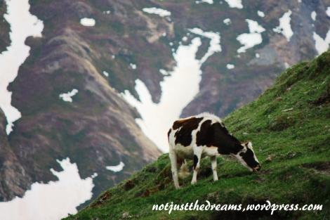 W drodze powrotnej fotograficznie polowałam na pasące się w górach zwierzęta. Polowanie wygrała jednak krowa, która niemal jak kameleon dostosowała się do otoczenia (a może to otoczenie dostosowało się do kameleona?).