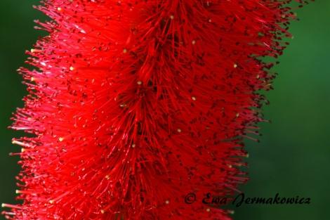 Pani Szczotka. Ten kwiatek to ponoć callistenum, powszechnie znana jako Bottlebrush, czyli szczotka do butelek :) )